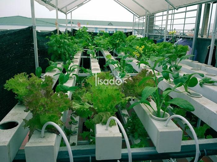 Phương pháp trồng rau thủy canh không mất nhiều công chăm sóc