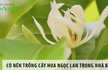 Có nên trồng cây hoa ngọc lan trong nhà không?