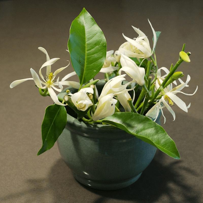Cây ngọc lan có thể trồng trong nhà